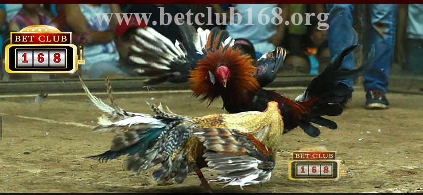 Bonus 100% Sabung Ayam Online Paling Terkenal