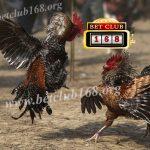 Tips Mencegah Ayam Petarung Dari Penyakit