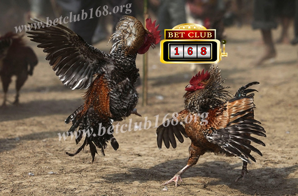 Situs Sabung Ayam Online Bonus Deposit