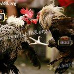 Bonus Terbesar Taruhan Sabung Ayam Online Agen Terbesar