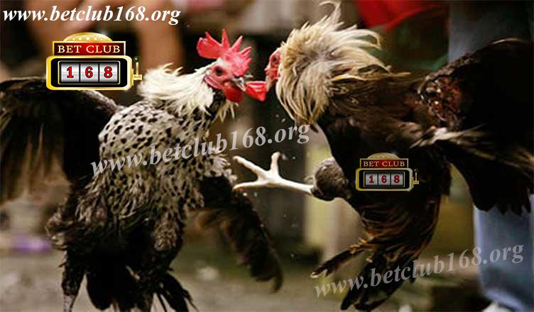Agen Sabung Ayam Online Keuntungan Uang Besar Bonus Terbesar