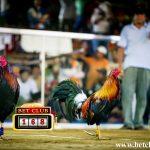 Main dan Nikmati Permainan Sabung Ayam Online Bersama Komunitas Judi Sabung Ayam Indonesia