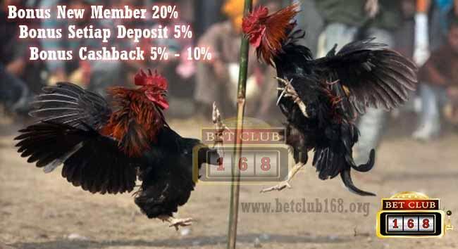 Cara Merawat Ayam Laga Yang Baik Dari Bibit