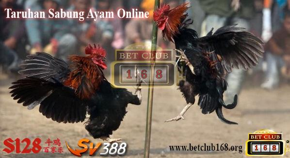 Ciri Ayam Bibit Bangkok Yang Berkualitas