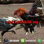 Agen Sabung Ayam Online Bonus Deposit Terbesar