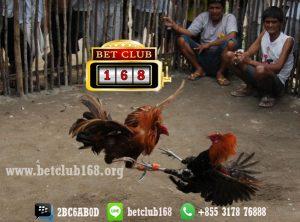 Agen Sabung Ayam Online Deposit 50 Ribu Bonus Terlengkap