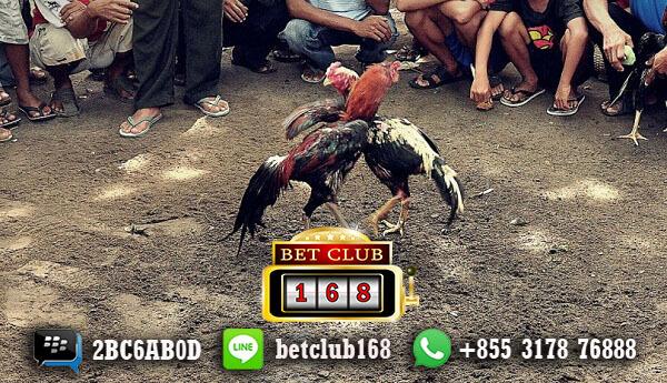 Agen Sabung Ayam Online Minimal Deposit 50 Ribu Bonus Cashback Terbesar