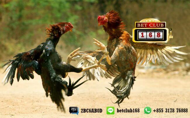 Bonus Terbesar di Agen Judi Sabung Ayam Online Terbesar