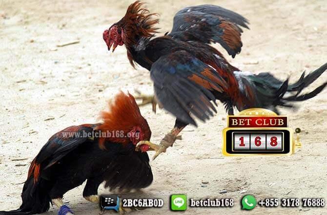 Permainan Adu Ayam Online Untung Uang Terbesar