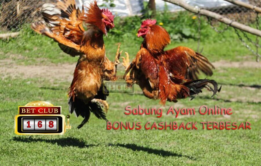 Sabung Ayam Online Bonus Cashback Terbesar