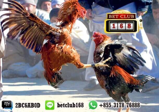 Taruhan sabung Ayam Online Indonesia Bonus 20% Terbesar
