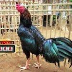 Bonus Deposit Setiap Hari Sabung Ayam