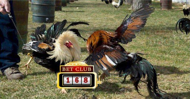 Sabung Ayam Online Bonus Cashback 10%