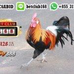 Sabung Ayam Indonesia Uang Asli