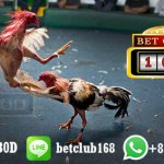 Bonus Kemenangan 100 Persen Adu Ayam Online Terpercaya