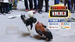 Bonus Kemenangan 100 Persen Terbesar Adu Ayam