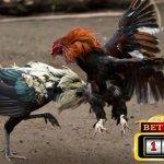 Memilih Agen Judi Ayam Online Terbesar Indonesia