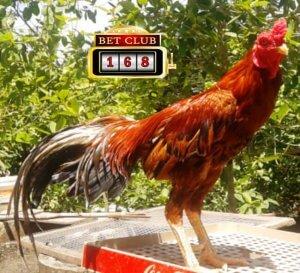 Laga Ayam Online Betting 20 Ribu Rupiah